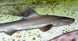 Smooth hound